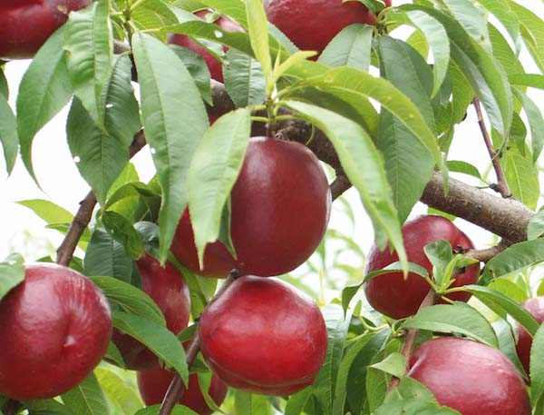 где в крыму выращивают персики