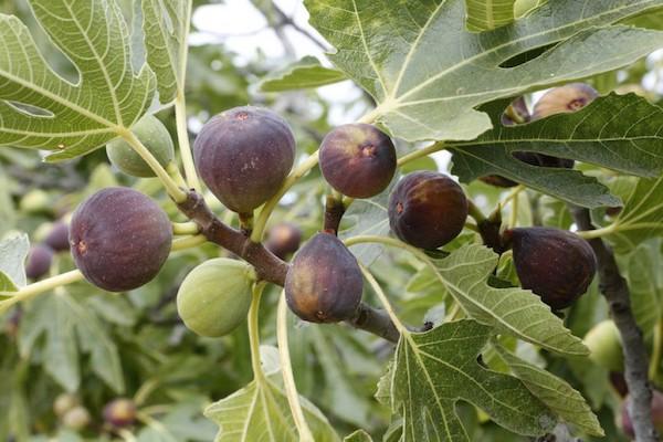 Картинки по запросу инжир дерево